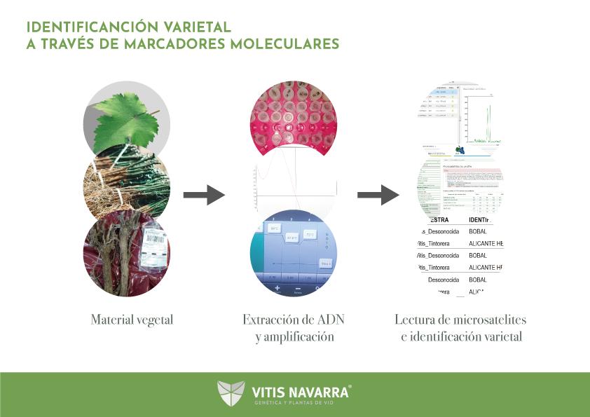 Procesos en la Identificación varietal mediante marcadores moleculares con microsatélites
