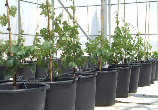 Obtención y caracterización agronómica y enológica de nuevas variedades de portainjertos.