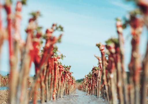 Aumento de la longevidad y la salud de la viña